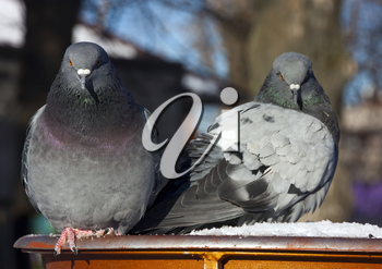 Common blue-gray doves in the city. Bird, who lives next to the man.