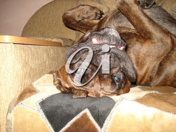 Dog, pet of all people. The dog breed boxer. A funny pet.