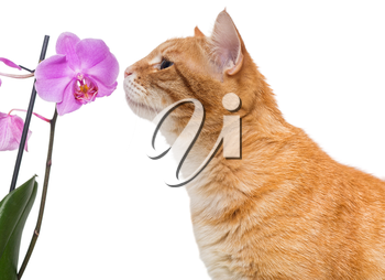 Red cat and an Orchid flower, isolated on white background