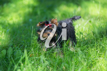 Puppy Yorkshire Terrier walking in the Park on green grass