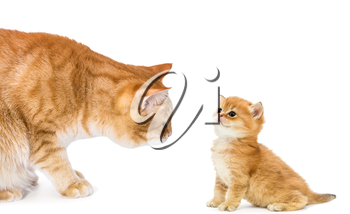 Two red cat, adult and small, isolated over white