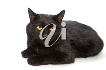 Beautiful black cat lying on a white background, isolated