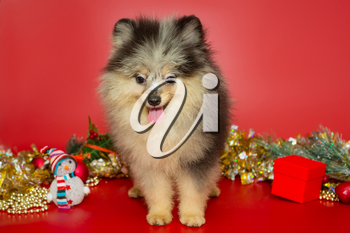 Portrait of a Spitz Merlen puppy on the background of Christmas decorations and a red background