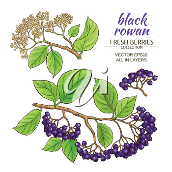black rowan branches vector set on white background
