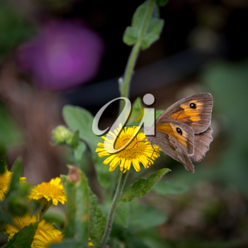 Meadow Brown Butterfly (Maniola jurtina) feeding on a Common Fleabane (Pulicaria dysenterica) flowering near Ardingly Reservoir in Sussex