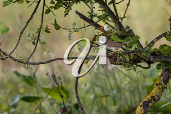 Common Whitethroat (Sylvia communis) perched in a tree with nesting material in its beak