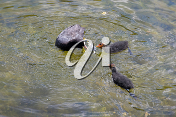Adult and jevenile Coots on Lake Misurina near Auronzo di Cadore, Veneto, Italy