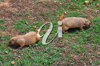Prairie dog rodents feeding on grass. Animals in natural environment.