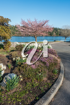 A view of a blooming Cherry tree and garden on the shore of Lake Washington.